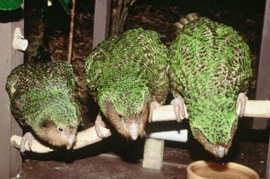 3133989-4-kakapo-don-merton-department-fo-conservation-afp.jpg