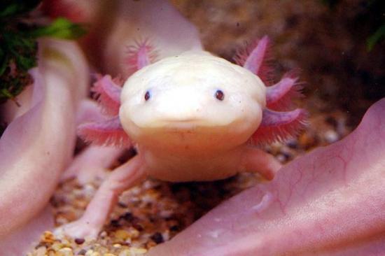 3133989-6-axolotl-afp-sam-yeh.jpg